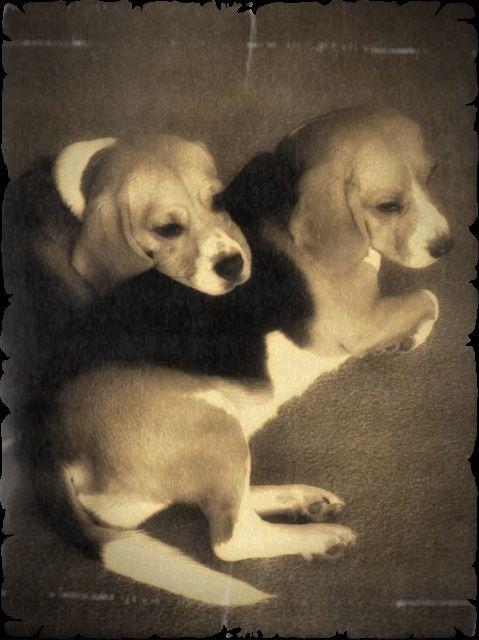 Victoriana beagles