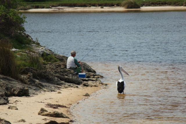 Patient pelican 1