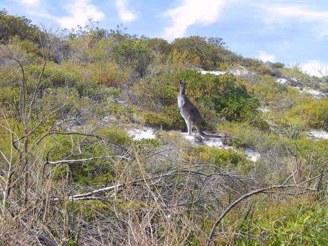 Curious Kangaroo.